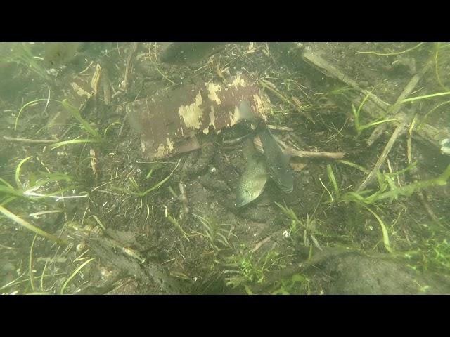 Bluegill spawning