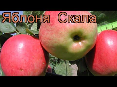 Яблоня средний Скала (malus) 🌿 средний яблоня Скала обзор: как сажать, саженцы яблони Скала