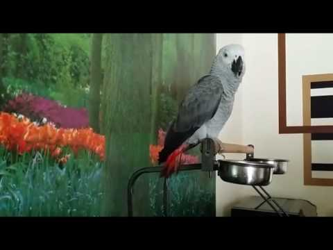 African grey Congo Cosco parrot giving shower with shampoo at home every second dayأفريقي، أشيب، كوس