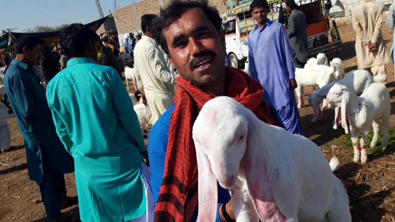 Gulabi, Kamori, Pateri, Tapri Goats Market in Hyderabad ( Feb 27, 2019 ) |  Discussion in Urdu/Hindi
