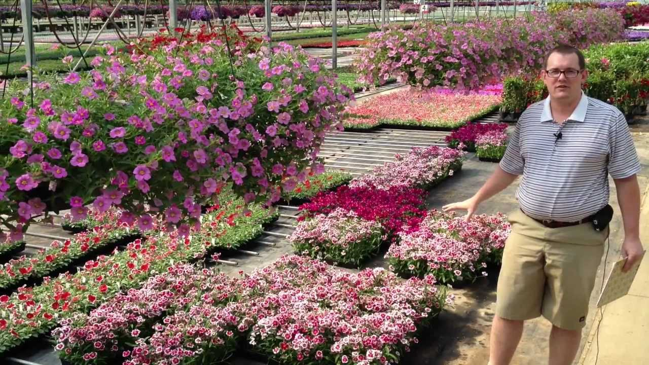 Dianthus Care You