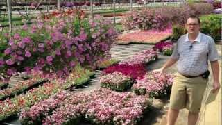 Dianthus Care