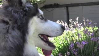 A Young And Handsome 7 Month Siberian Husky Needs Rescue By July 29th!