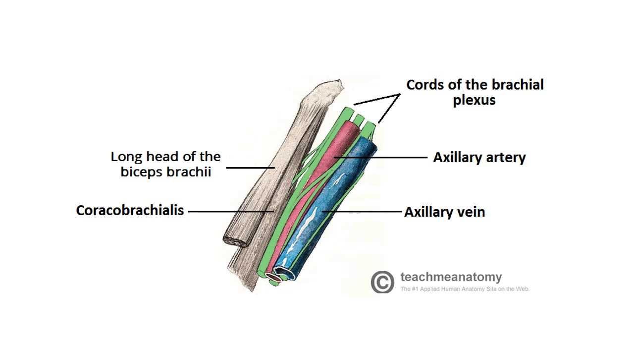 2 Minute Tutorial Anatomy Of The Axilla Youtube