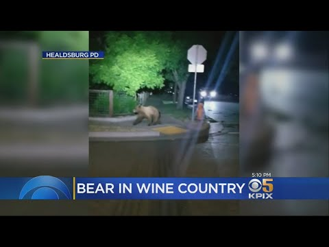 Bear Goes On Early Morning Romp In Healdsburg