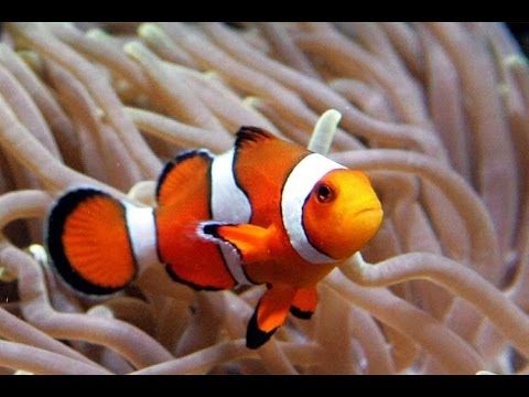 Clown Fish Nemo Amphiprioninae Clownfish YouTube