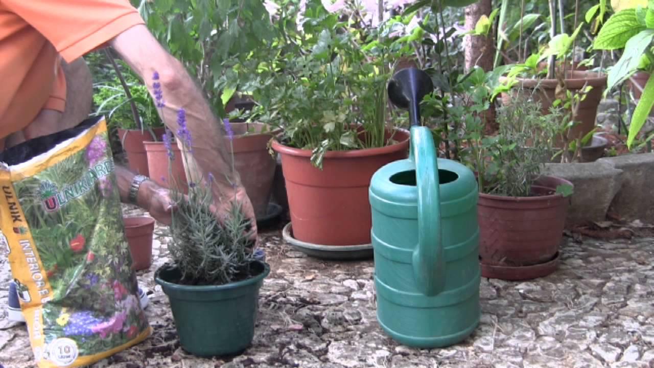 Como Plantar Lavanda Youtube - Como-plantar-lavanda