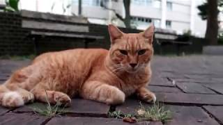 Cat Videos Toraand39s Thought Episod 5 - Japanese Cats On The Street The Three Sleepyheads