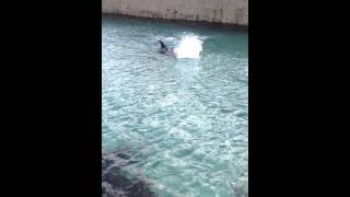 Dolphin attack on Inis Meain.