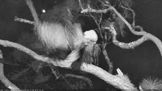 2017/12/15 AEF-NEFL~Romeo gets a bump from an barred owl~ thumbnail