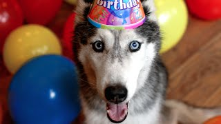 Mishka the Talking Husky's Surprise 13th Birthday Party!