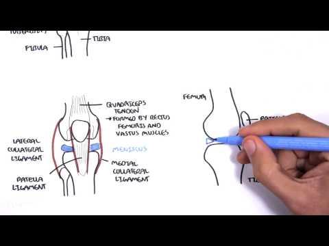 Clinical Anatomy - Knee