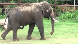 Elephant Scratches His Belly With His Penis