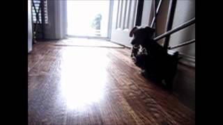 Einstein (teacup Yorkshire Terrier) Vs Squishy (miniature Dachshund)