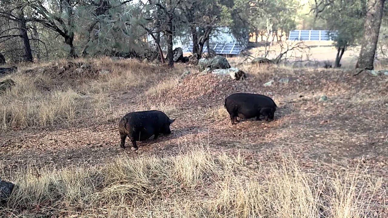 R Hogs Guinea Hogs and...