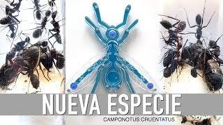 Gambar cover ES ESTA LA HORMIGA REINA MAS GRANDE DE EUROPA ?  😱  Camponotus cruentatus