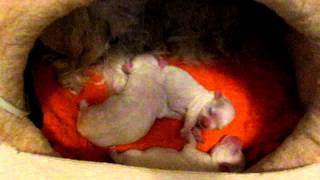 Chelsea (maltese Mommy) With Her 3 Cute Male Puppies (1)