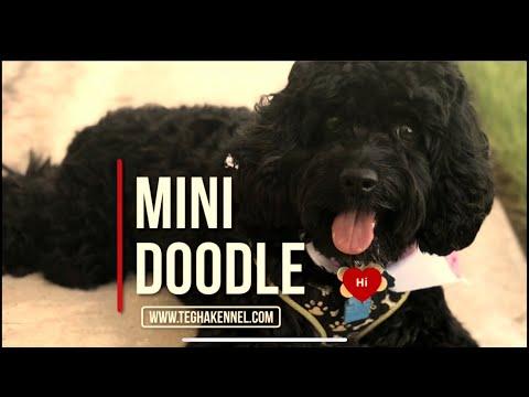 Black Mini doodle dog puppies in India