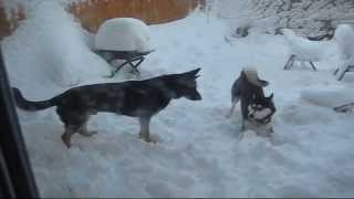Play Fight In The Blizzard - German Shepherd And Siberian Husky