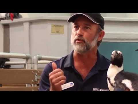 African Black-Footed Penguins