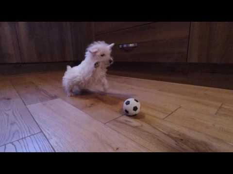 Westie puppy meets ball