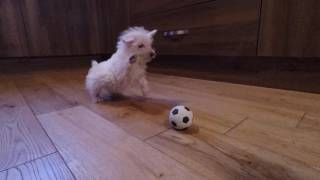 Westie puppy meets ball
