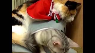 Кафе с кошками в Японии