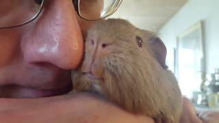 Sweet Kandis (when a guinea pig licks your nose)