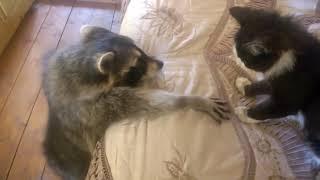 Енот пристает к коту. Енот мнет кота своими лапками!