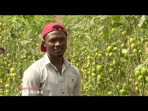 Young farmer making a fortune from Greenhouse tomato farming – Brian Anangwe  part 2 