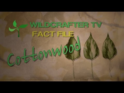 Cottonwood Herb Fact File: What you need to know about Cottonwood Herb