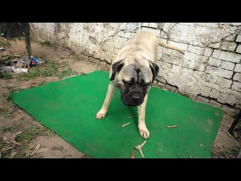 Patiala Kennel club Dog Show live//Bhola Shola //Punjab dog show