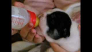 щенок английского бульдога чёрный три колор