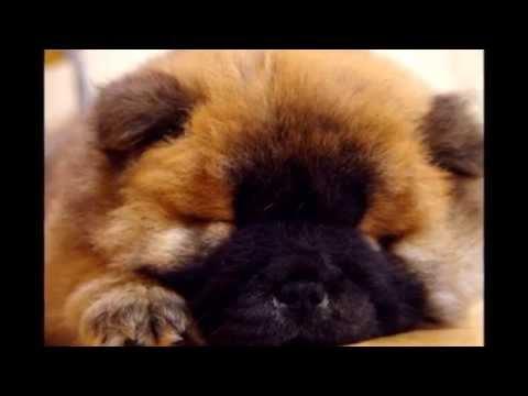 Cute Sleepy Chow Chow Puppy Video