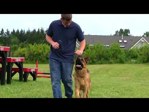 Very large German Shepherd willing to obey!