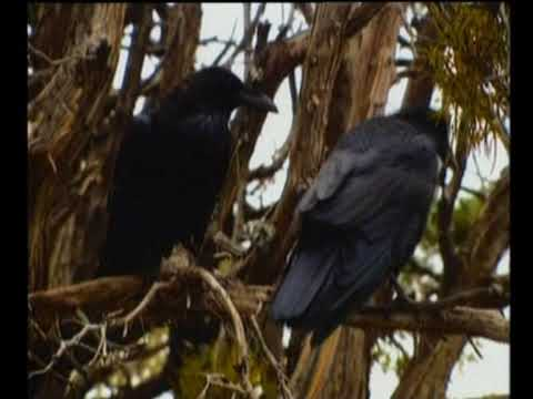 Spirit Birds - Raven & Crow  - Native American