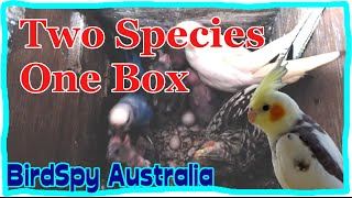 Budgies and Cockatiels in one nest box | BirdSpyAus