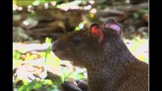 The Agouti is a Large Rodent