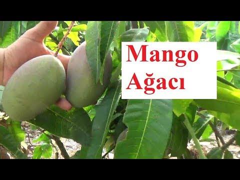 Antalya - Mango Yetiştiriciliği - Mango Meyvesi - Mango Ağacı  Bahçesi - Mango Bitkisi