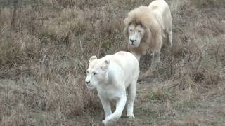 Пара белых львов Тайгана