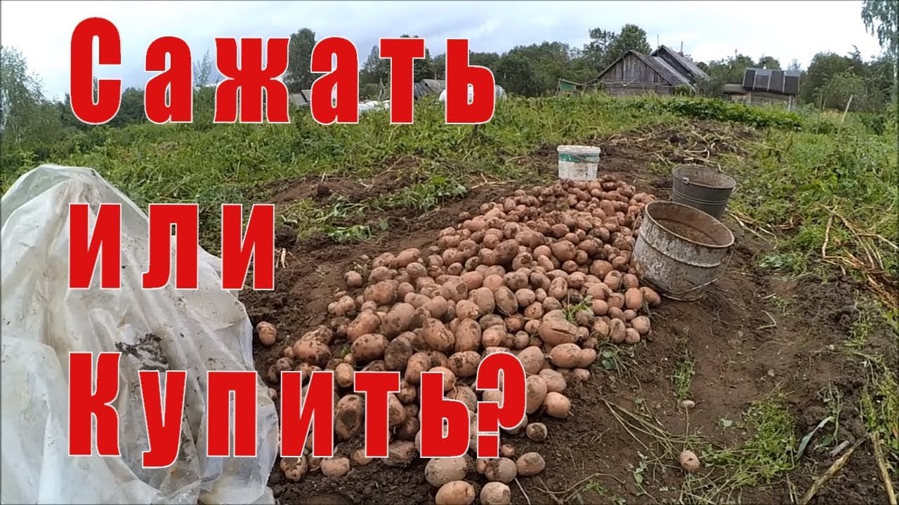 25 мар 2017. Самым любимым в беларуси сортом, по словам ученой, можно назвать среднеспелый сорт