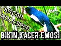 Kacer Gacor Rool Sped Bikin Kacer Emosi  Mp3 - Mp4 Download