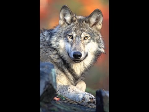 S-659 Bill to Delist Wolves from Endangered Species List