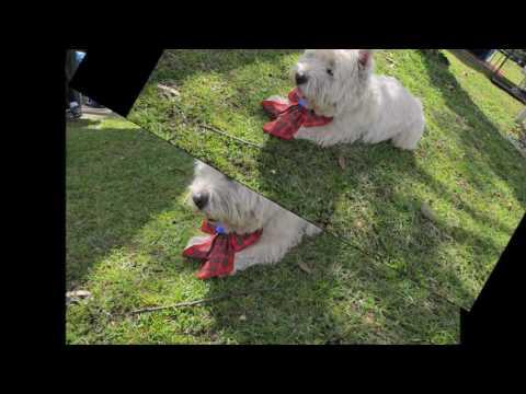15-16 Aug 2015 Newcastle Dog Agility runs; Westie Toby