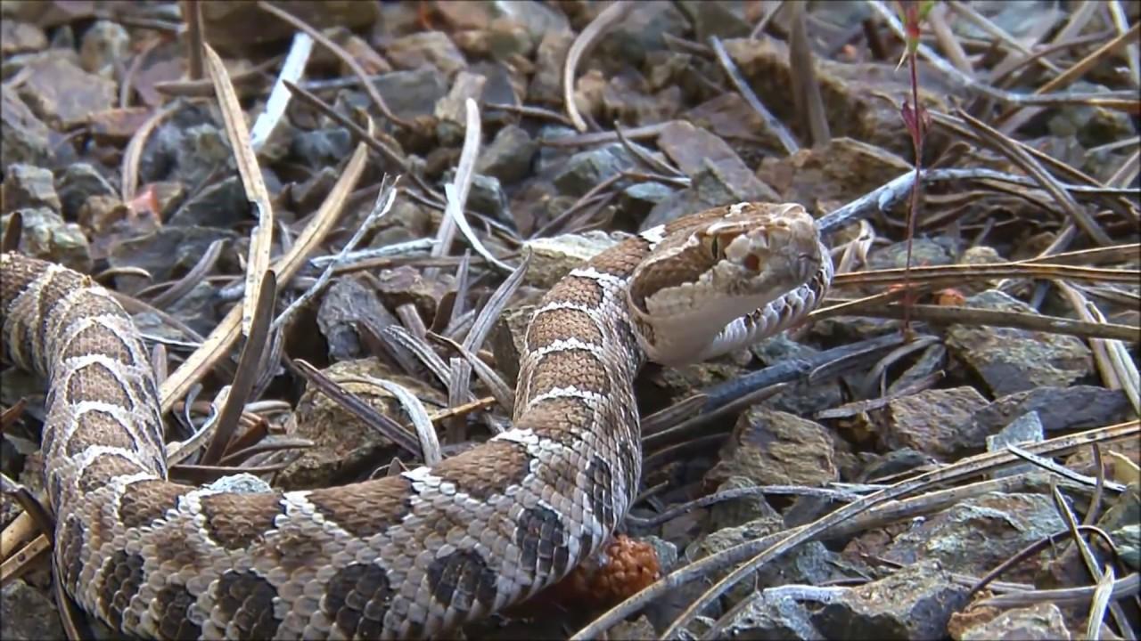 Blackhead King's Worst Snake Bites Rattlesnake vs Cobra ...