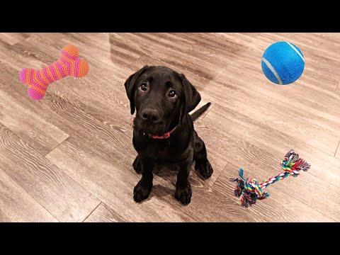 Labrador Puppy Reviews Toys!!