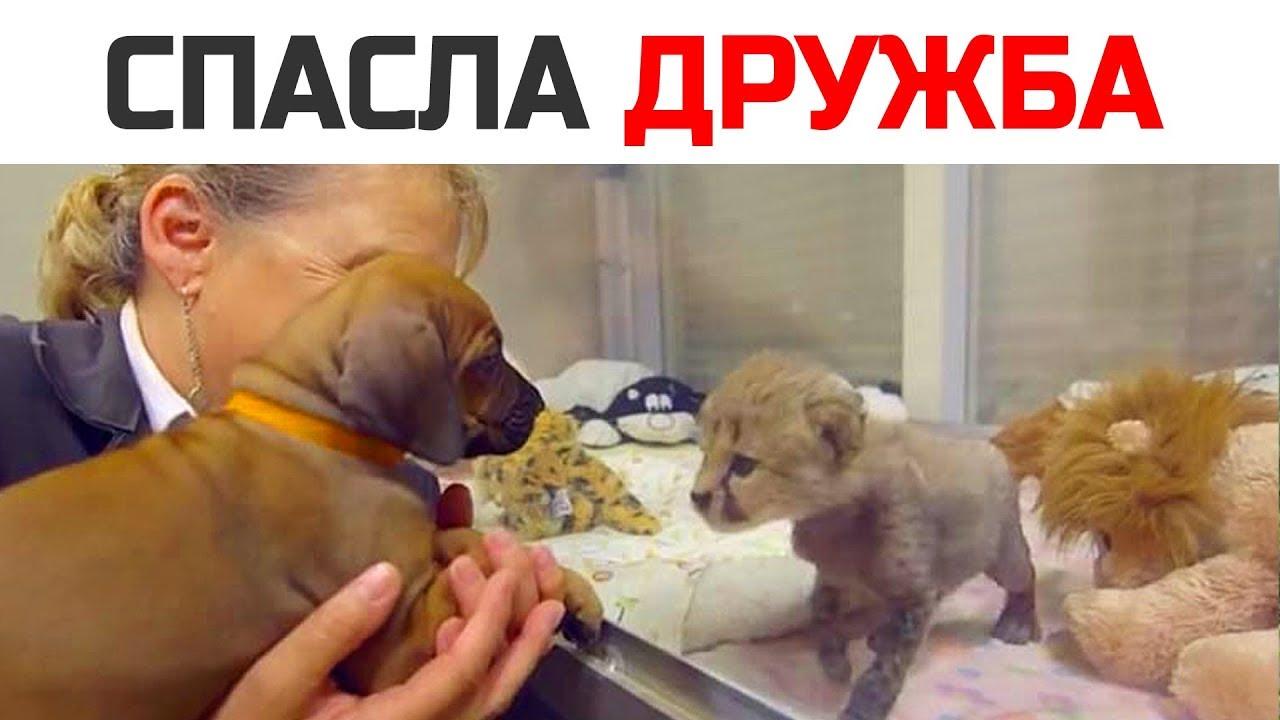 Маленького гепарда спас щенок. Интересные истории про животных