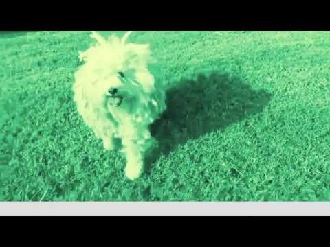 My mop dog the puli