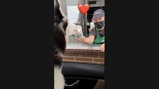 Husky Visits Starbucks - GETS FED BY STAFF!!! #shorts