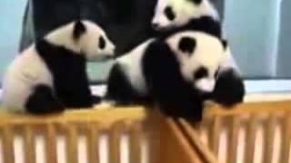 Приколы С Животными Мишки панды играют Смешные веселые панды Смешные Медведи